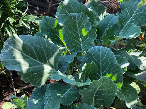 Purple Tree Collard Cutting (1 Set of 3 Plants)