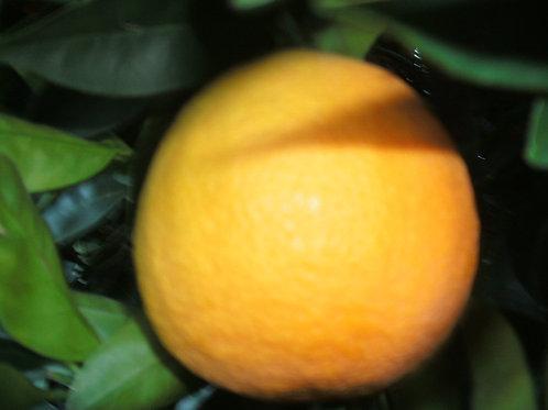 The Clayton Farm California Valencia Orange (15 LB) Available May
