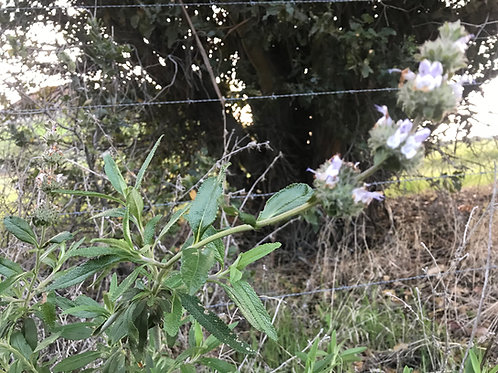 Black Sage Salvia mellifera