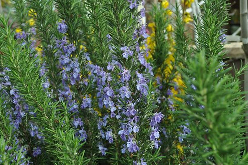 Rosemary Tuscan Blue