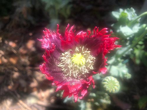 Papaver hybridum 'Drama Queen' Seeds