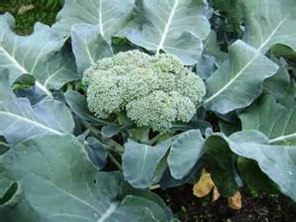S096X01. Broccoli Calabrese Edible Flower Rapa