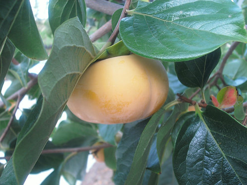 The Clayton Farm Fuyu Persimmons (5 LBS) Available October 09 to 31