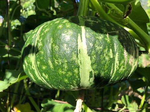 Squash Japanese Pumpkin Kabocha