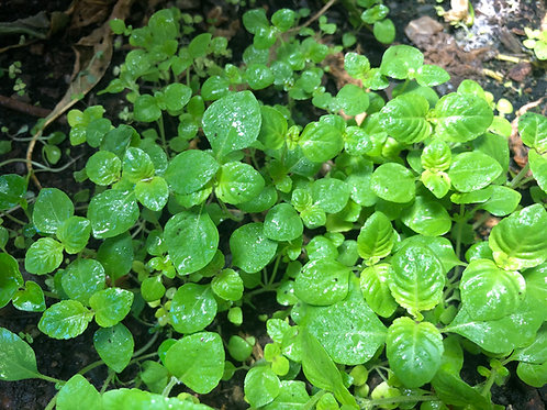 Grass Jelly Mesona chinensis (Taiwan Variety)