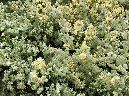 California Buckwheat Warriner Lytle Eriogonum fasciculatum