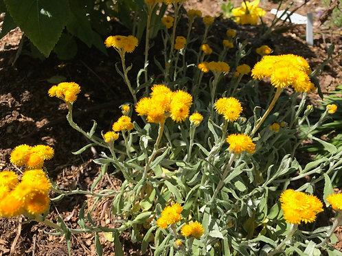 Chrysocephalum apiculatum Silver Sunburst Starter Plant
