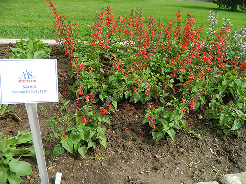 Summer Jewel Red Salvia Plant
