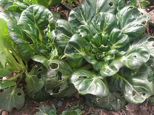 S113X01. Chingensai Tatsoi (Green Stem Chinese Cabbage)