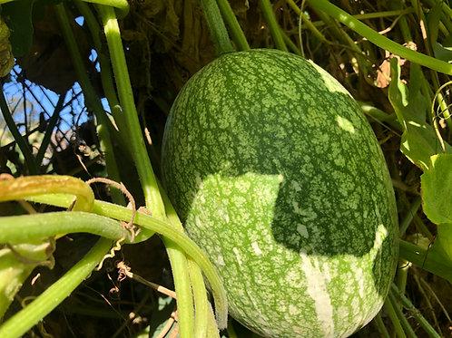 Chilacayote (Fig-leaf Squash)