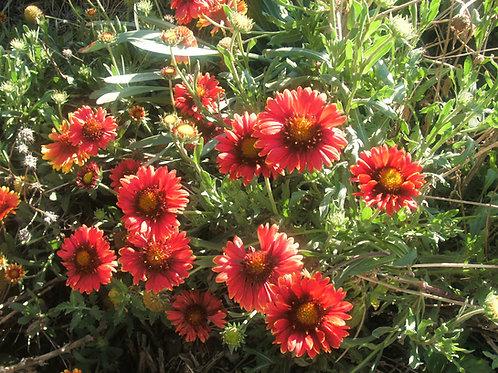 Gaillardia x grandiflora 'Burgundy'