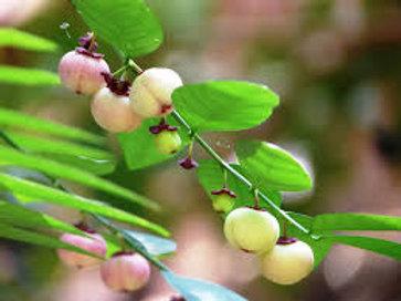 Sauropus androgynus (Start Gooseberry, Sweet Leaf)
