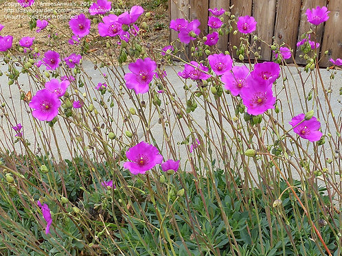 P072. Rock Purslane Shining Pink