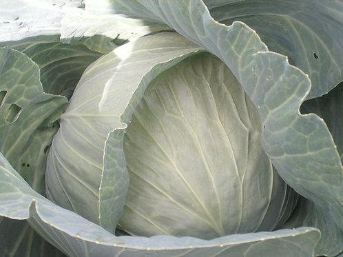 S088X01. Cabbage Late Flat Dutch