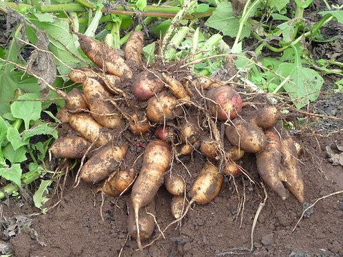 Yakon Peruvian Ground Apple (1 Tuber)