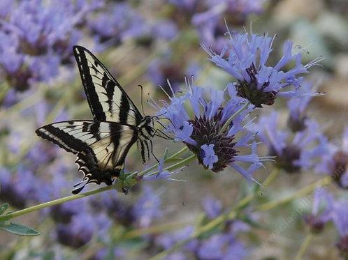 Salvia Clevelandii 'Winnifred Gilman' Blue Sage Seeds