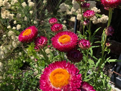 Helichrysum bracteatum 'Monster Rose'