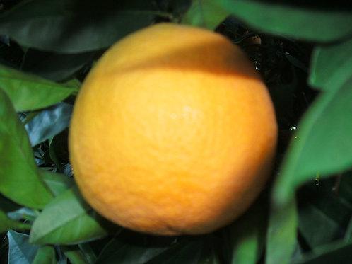 Valencia Orange Seed