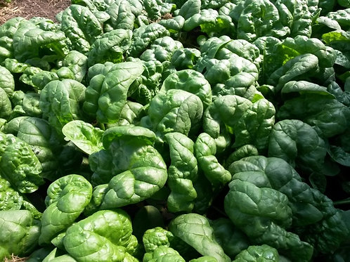 S093X01. Spinach Bloomsdale Longstanding