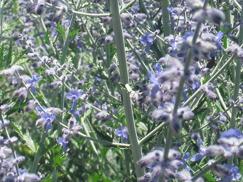 Perovskia Russian Sage - Bee Keeper's Must