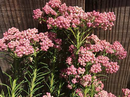 Dark Pink Rice Flower Ozothamnus diosmifolius