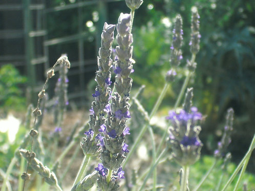 Goodwin Creek Gray Lavender Seeds