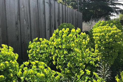 P061. Euphorbia characias subsp. Wulfenii