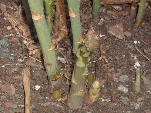 Mary Washington Asparagus Heirloom