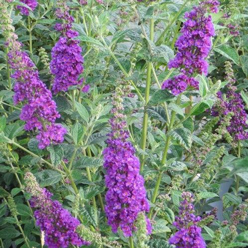 Buddleia, Butterfly Bush Miss Violet Plant