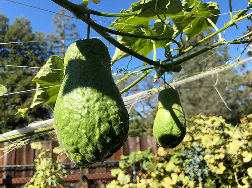 The Clayto Farm Young Chayote Squash (1 Set of 5, available mid Sep - mid Dec)