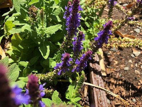Salvia Nemorosa New Dimension Blue