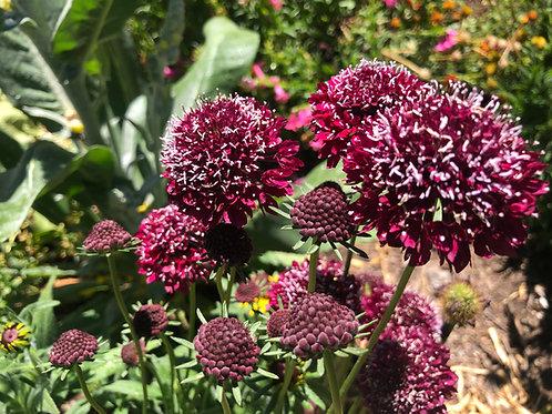 Scabiosa atropurpurea 'Scarlet' Seeds