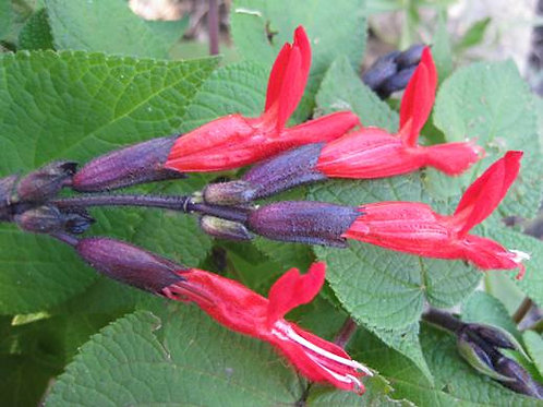 Salvia gesneriiflora 'Tequila