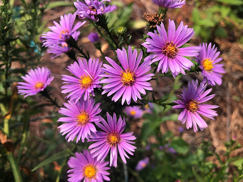 Purple Dome New England Aster Seeds