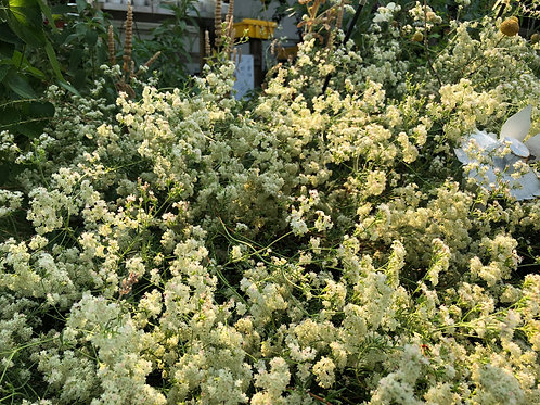 California Buckwheat Eriogonum fasciculatum 'Warriner Lytle'