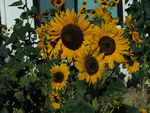 Sunflower Wild Mix