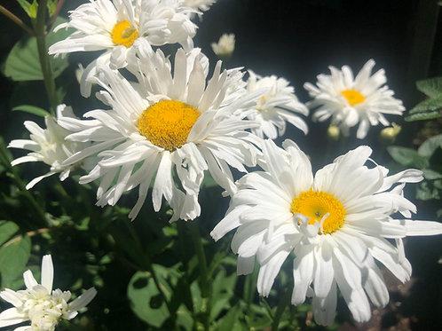 Crazy Daisy Shasta Daisy Starter Plant