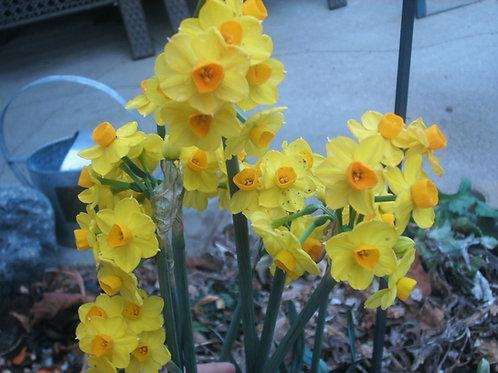 B001. Spring Bulbs - Narcissus Tete-a-Tete