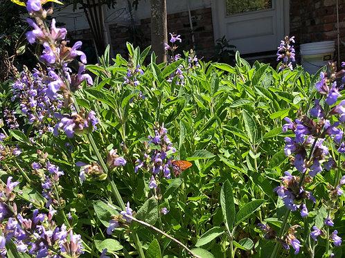 Salvia officinsalis Garden Sage Seeds