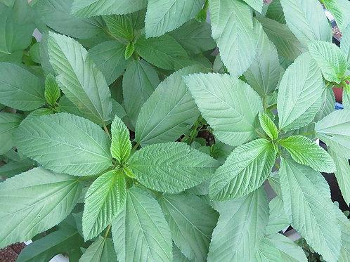 Egyptian Spinach (Rau Day/saluyot/ Molokhia/Jute Seeds)