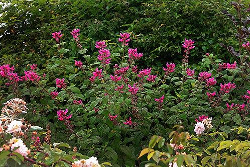 Salvia pulchella involucrata Rosebud Pink Hybrid Sage Seeds