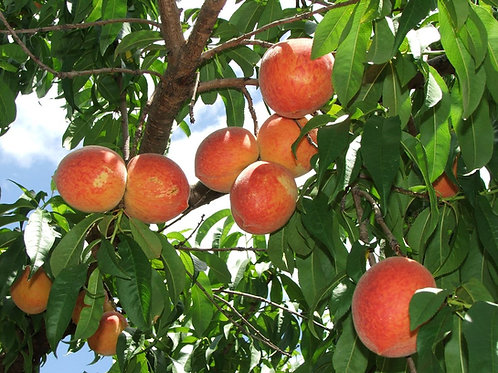 Dixie Red Yellow Peach Tree