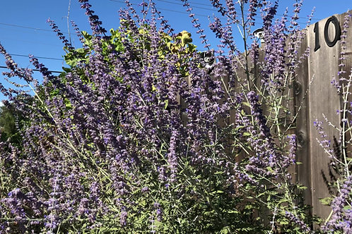 50 Divided Bare Root Perovskia Russian Sage