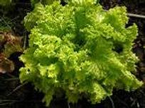 S109X01. Lettuce Grand Rapids