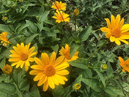 False Sunflower Ox-eye