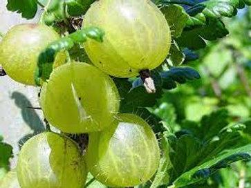 Gooseberry Pixwell Seeds