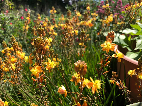 Bulbine frutescens Orange Starter Plant