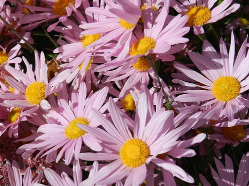Clara Curtis Daisy Chrysanthemum rubellum