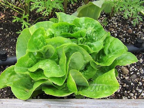 S115X01. Lettuce Buttercrunch