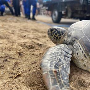 25 green turtles released!